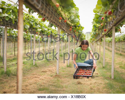 Worker picking strawberries in polytunnel of fruit farm - Stock Photo