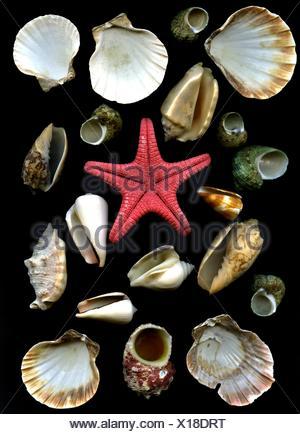 sea cockleshells and starfish - Stock Photo