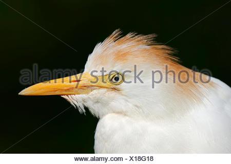 Cattle Egret (Bubulcus ibis), in breeding plumage, portrait, France - Stock Photo