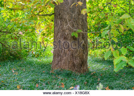 magnolia, cucumber tree (Magnolia acuminata), trunk, Germany - Stock Photo