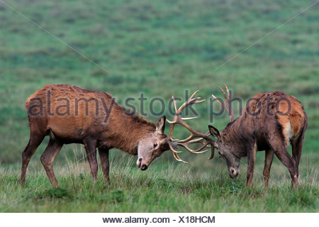 Fighting Red Stags during the rut (Cervus elaphus) - Stock Photo
