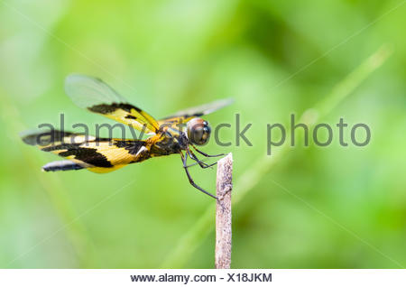Rhyothemis Variegata, Common Picture Wing or Variegated Flutterer, is black and yellow female dragonfly on twig - Stock Photo