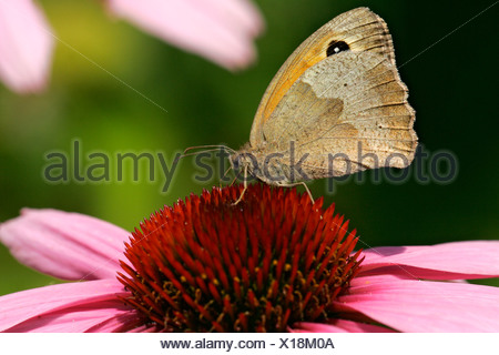 Meadow brown butterfly sitting on a purple cone flower blossom - butterfly (Maniola jurtina) (Echinacea purpurea) - Stock Photo