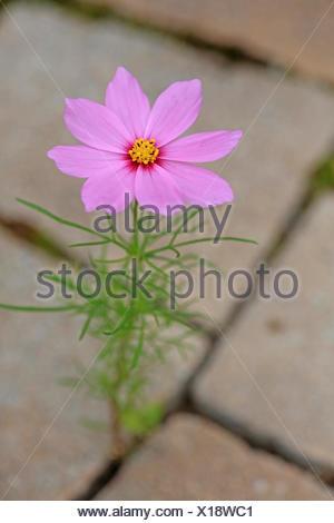 Schmuckkoerbchen, Schmuck-Koerbchen, Fiederblaettrige Schmuckblume, Cosmea, Kosmee (Cosmos bipinnatus), verwildert in einer Pfla - Stock Photo