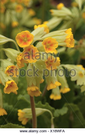 Common cowslip - Primula veris - Stock Photo