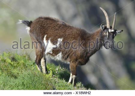 Goat - Capra hircus - Stock Photo