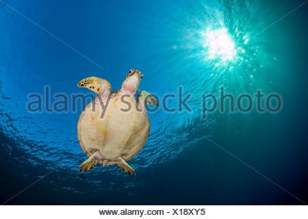 Green sea turtle (Chelonia mydas) swimming in blue beneath evening sun. Rock Islands, Palau, Mirconesia. Tropical west Pacific Ocean. - Stock Photo