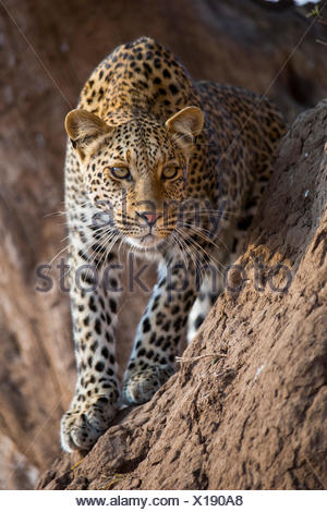 African Leopard (Panthera pardus) Adult standing termite mound Botswana - Stock Photo