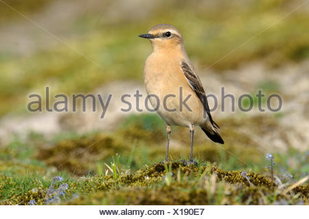 Northern Wheatear (Oenanthe oenanthe) female, Noord-Holland, The Netherlands - Stock Photo