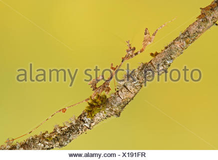 Ornate mantis (Gongylus gongylodes), Southeast Asia, captive - Stock Photo
