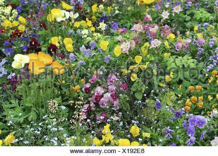 Pansy, Pansy Violet (Viola x wittrockiana, Viola wittrockiana, Viola hybrida), flowerbed in spring - Stock Photo