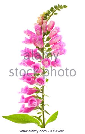 Foxglove (Digitalis purpurea) flowers, The plant contains the poisonous chemical digitalin, used in medicine as a cardiotonic - Stock Photo