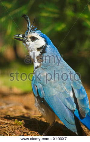 white-throated magpie-jay (Calocitta formosa), sitting on the ground - Stock Photo