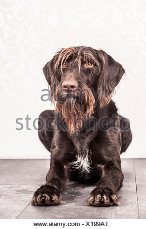 Sitting German Wirehaired Pointer, Germany - Stock Photo