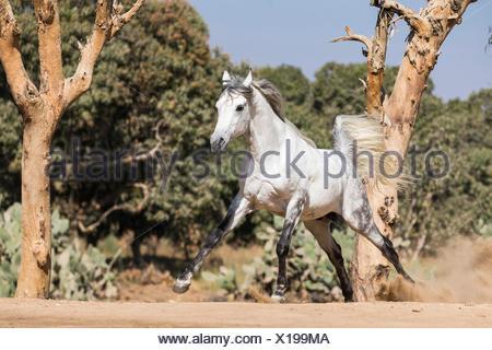 Arabian Horse. Gray stallion galloping on the edge of the desert. Egypt - Stock Photo