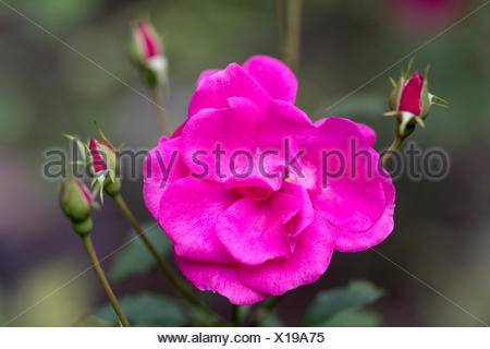 Flower of pink Rosa rugosa with buds in the garden - Stock Photo