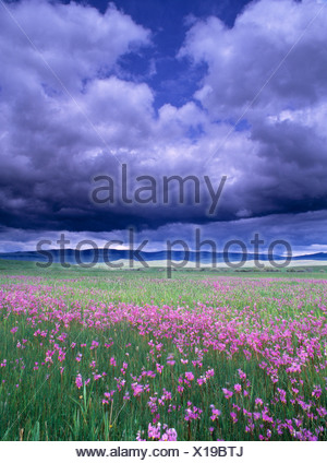 Stormy clouds approaching field of shooting star wildflowers - Stock Photo