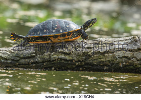 Florida Red-bellied Cooter , sun basking on tree trunk in pond, (Pseudemys nelsoni) - Stock Photo