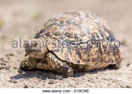 Leopard tortoise (Geochelone pardalis), Mamili National Park, Caprivi Strip, Namibia, Africa - Stock Photo