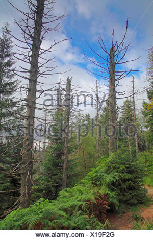 dead spruces , Germany, Baden-Wuerttemberg, Black Forest National Park - Stock Photo