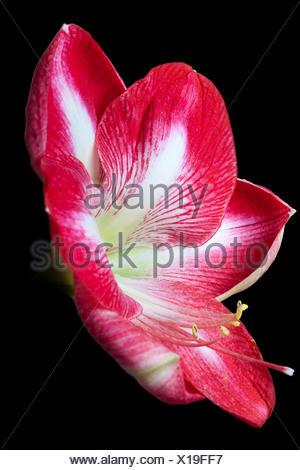 amaryllis flower against black background - Stock Photo