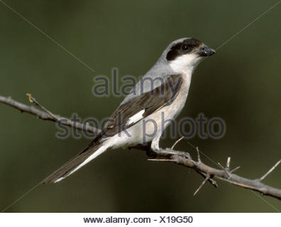 Lesser Grey Shrike Lanius minor - Stock Photo