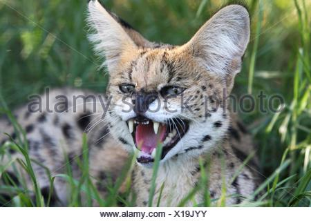 Angry Serval Wild Cat - Stock Photo