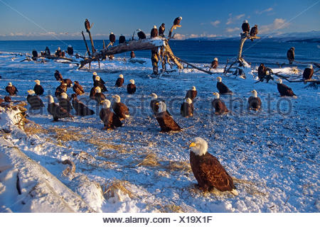 Bald Eagles Gathered On Snow Covered Beach Bathed In Morning Light Homer Spit Kachemak Bay Alaska Winter - Stock Photo