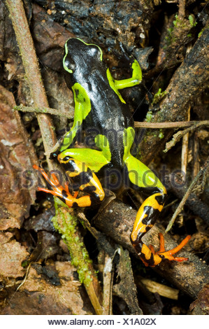 Malagasy Painted mantella Mantella madagascariensis frog in forest Andasibe-Mantadia National Park Madagascar - Stock Photo