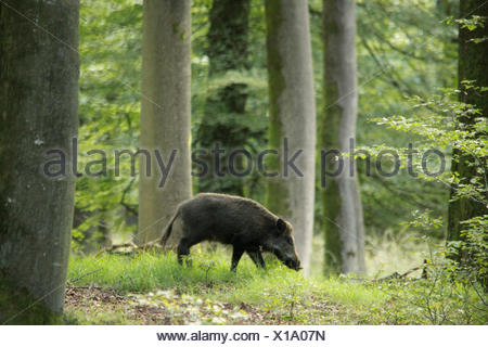 Wild Boar in his natural environment, a beach forest - Stock Photo