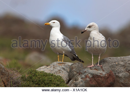Yellow-legged Gull (Larus michahellis), young and adult bird sitting together on rocks, Greece, Lesbos - Stock Photo