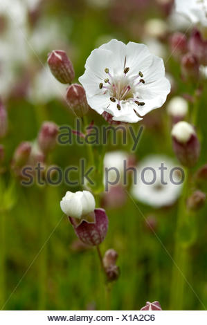 bladder campion, maiden's tears (Silene vulgaris), inflorescence, Germany, Bernese Oberland - Stock Photo