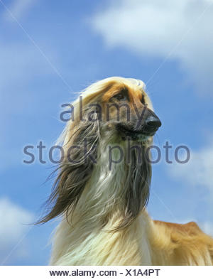 Afghan Hound, Portrait of Adult against Blue Sky - Stock Photo