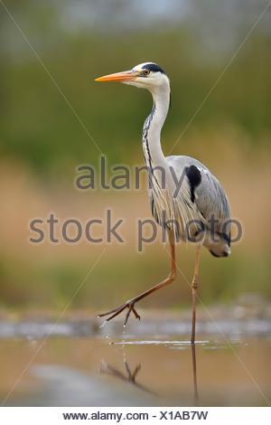 Grey heron (Ardea cinerea), walks in the water, National Park Kiskunsag, Hungary - Stock Photo