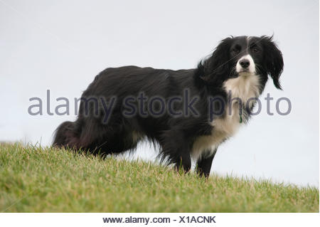 Collie Crossbred Dog, UK, black and white, standing in garden - Stock Photo
