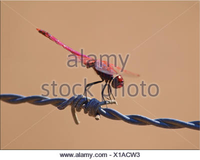 Close-Up Of Dragonfly On Barbed Wire - Stock Photo