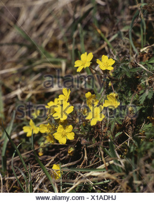 botany, Potentilla, Potentilla heptaphylla, yellow bloom, Additional-Rights-Clearance-Info-Not-Available - Stock Photo