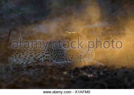 Cheetah (Acinonyx jubatus), attentive adult female, evening light, Zimanga Private Game Reserve, KwaZulu-Natal, South Africa - Stock Photo