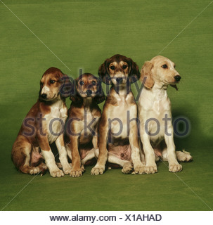 4 Saluki puppies - Stock Photo