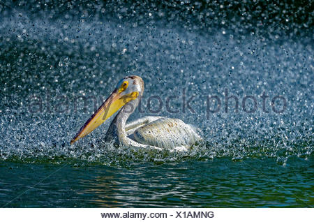 American white pelican (Pelecanus erythrorhynchos) in man-made pond by the fountain, Winnipeg, Manitoba, Canada - Stock Photo