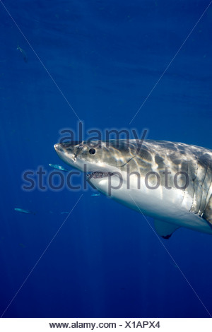 Great White Shark (Carcharodon Carcharias), Guadalupe Island, Mexico. - Stock Photo