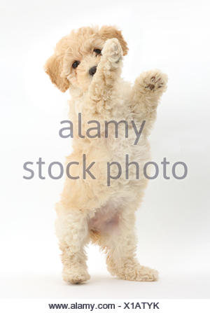 Poochon puppy, Bichon Frise cross Poodle, age 6 weeks standing on hind legs. - Stock Photo