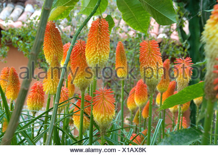 torch lily hybrid, red-hot poker hybrid (Kniphofia uvaria), blooming - Stock Photo