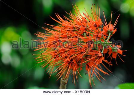 Bluete von Sutherlands Greyie (Greyia sutherlandii) Suedafrika,  (Greyia sutherlandii), inflorescence - Stock Photo