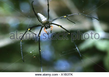 giant wood spider (Nephila maculata), in its web - Stock Photo