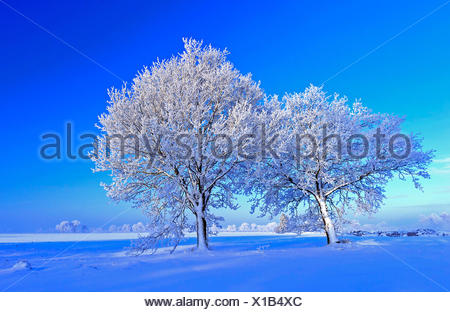 common oak, pedunculate oak, English oak (Quercus robur), snow covered oaks, Germany, Lower Saxony, Oldenburger Muensterland - Stock Photo