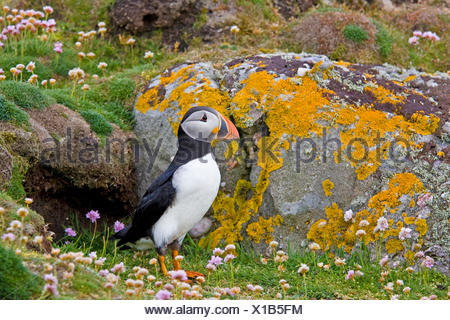 Atlantic puffin, Common puffin (Fratercula arctica), standing in front of its breeding cave, United Kingdom, Scotland, Fair Isle, Shetland-Inseln - Stock Photo