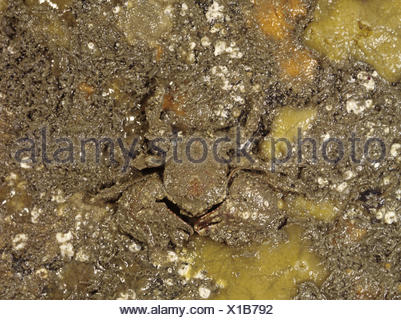 Broad-clawed Porcelain Crab - Porcellana platycheles - Stock Photo