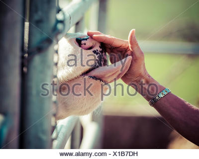 Cow licking woman's hand - Stock Photo