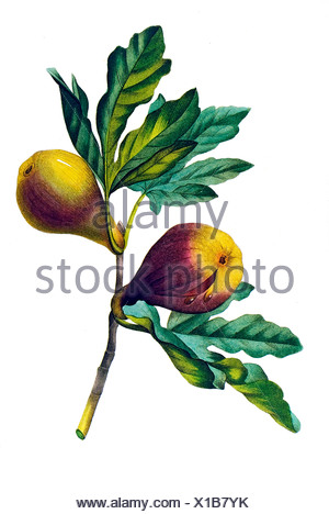 Violett fig - Stock Photo